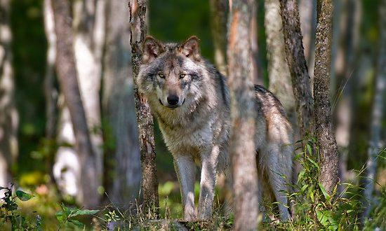 Ministrica Pivčeva na Blokah: Razmere zaradi napadov volkov so izredne