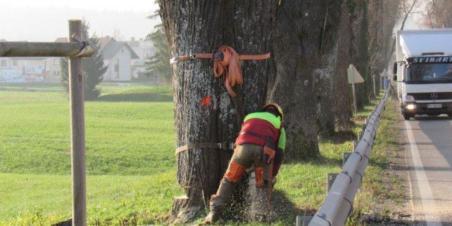 Septembra in novembra sanacija stanja lip v Napoleonovem drevoredu v Logatcu