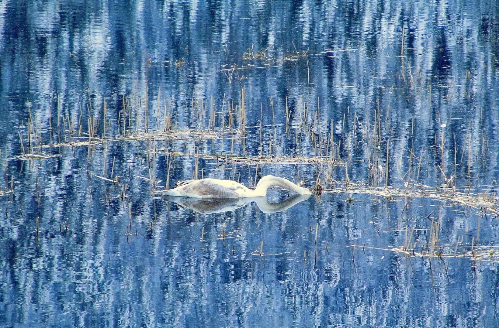 Labod v Cerkniškem jezeru, Foto: Miha Gornik